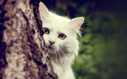 Animals___Cats_White_cat_hiding_behind_a_tree_044405_